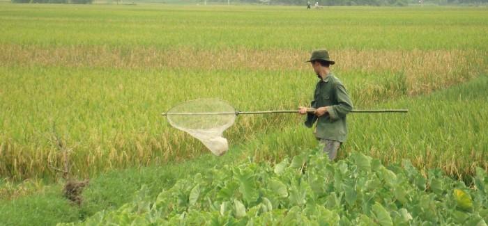 Malowniczy krajobraz – pola ryżowe w Wietnamie