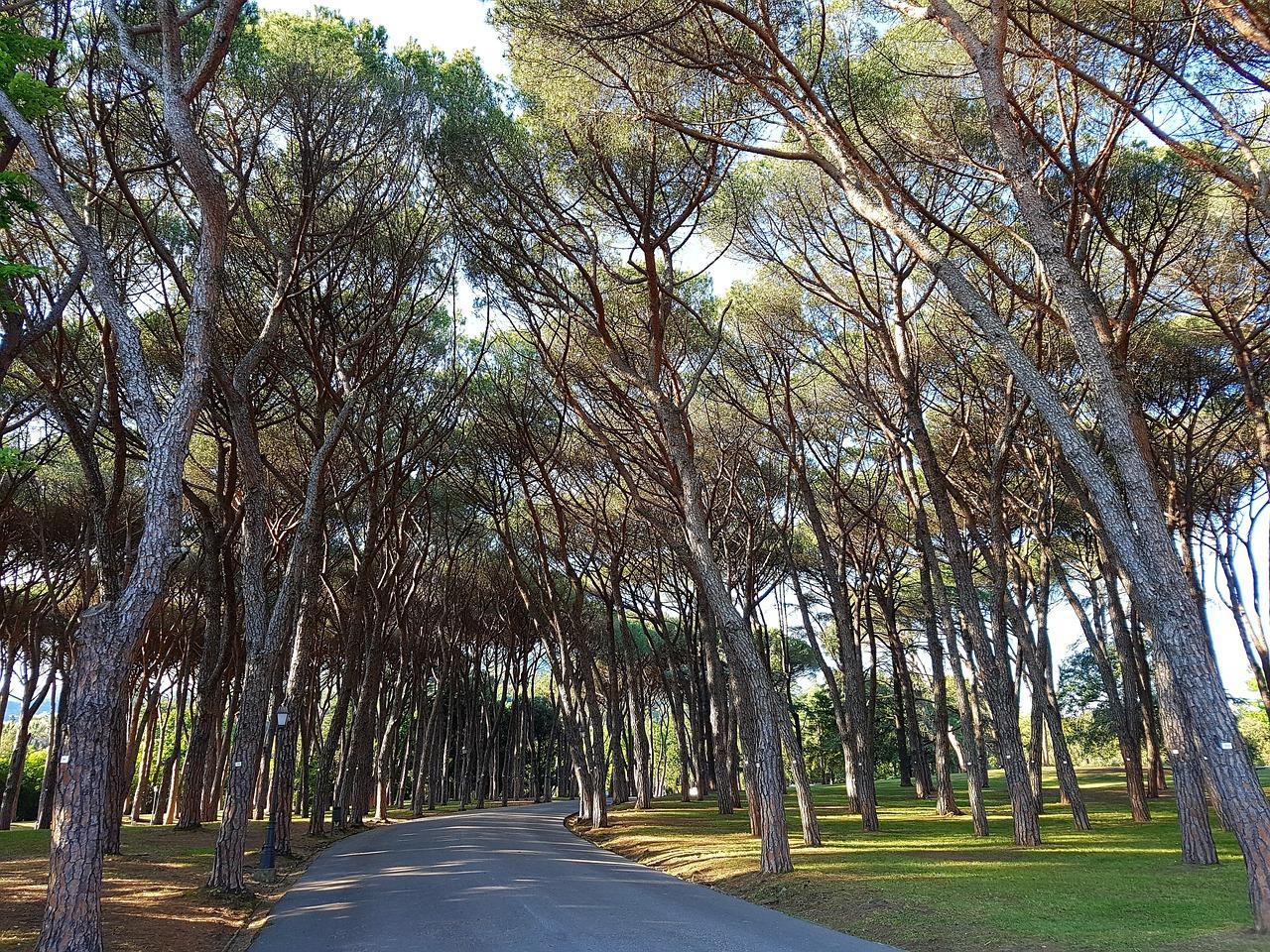 pine-1390993_1280