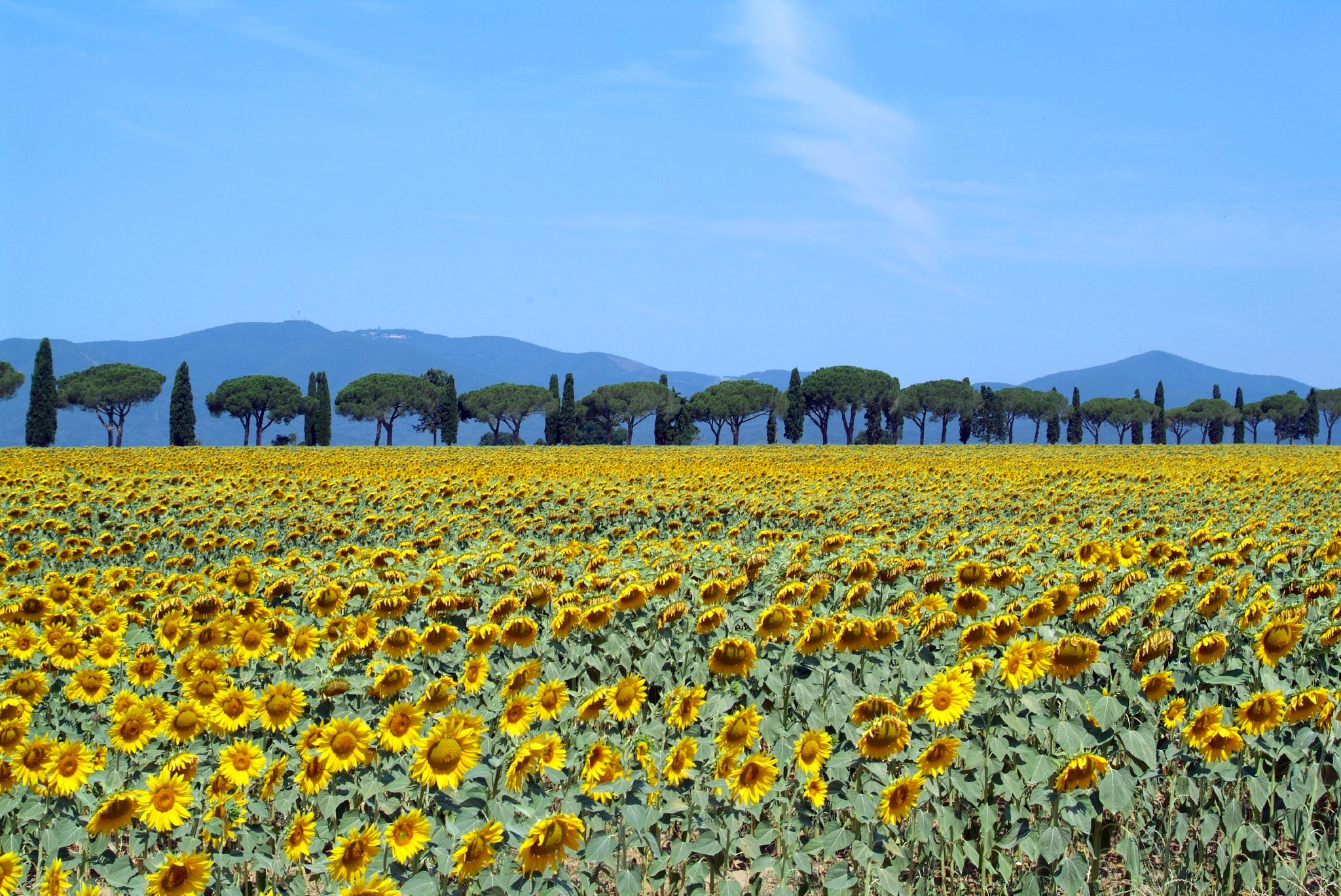 sunflowers_in_bloom_-_maremma_toscana_-_italy_-_25_june_2005