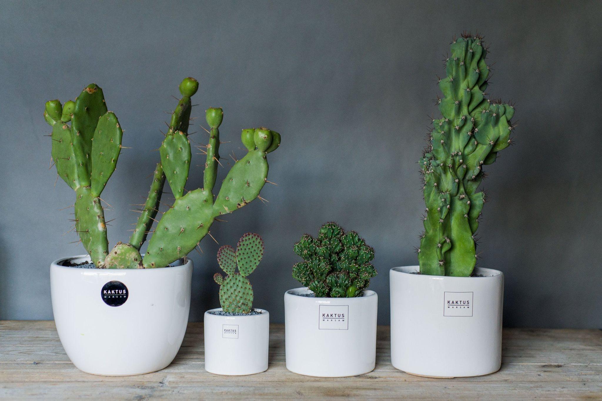 kaktus warsaw