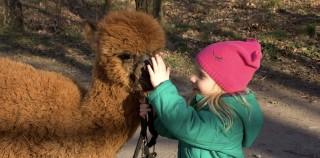 Pierwsze spotkanie z alpakami