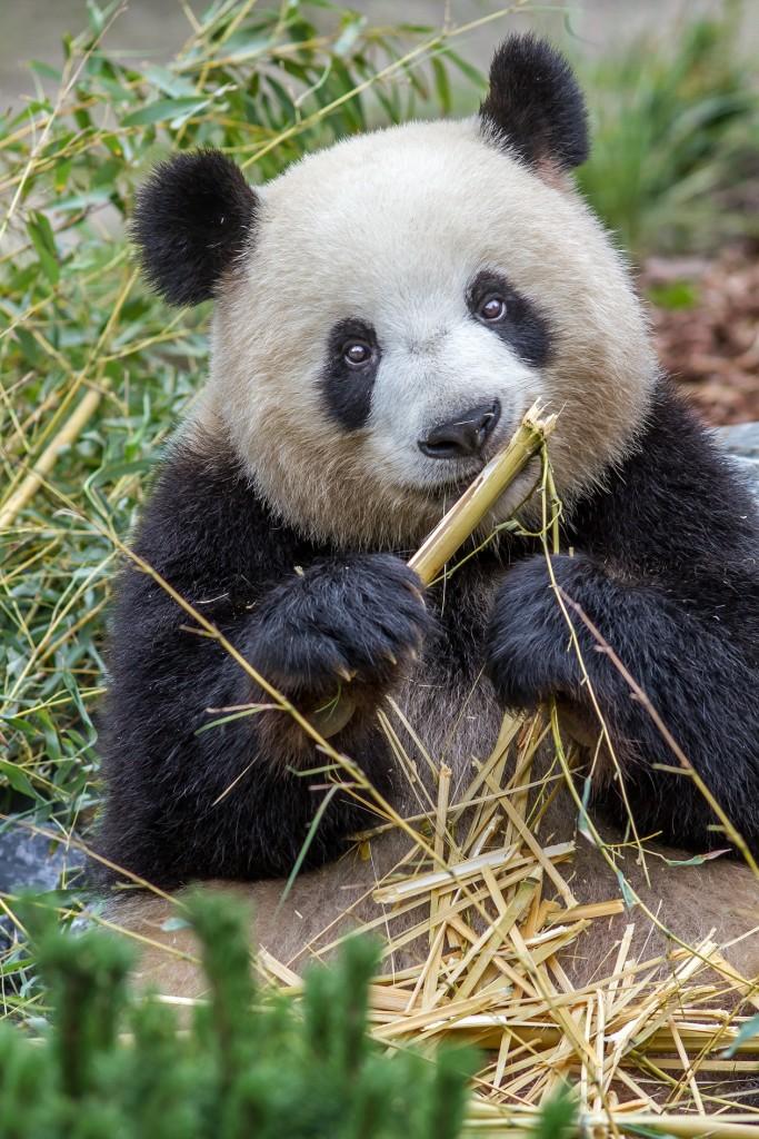 Panda_Meng_Meng_im_Zoo_Berlin